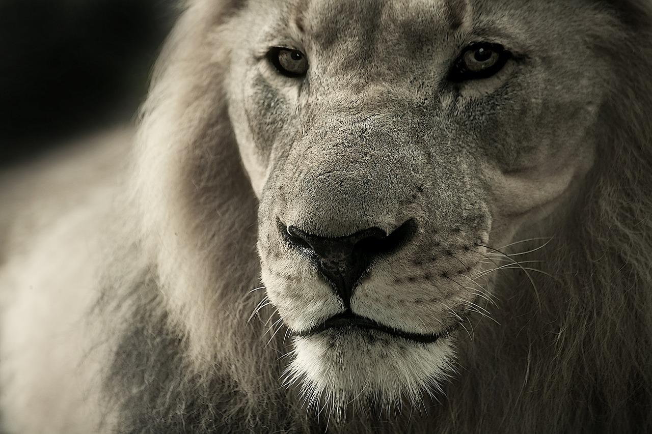 Un lion en gros plan
