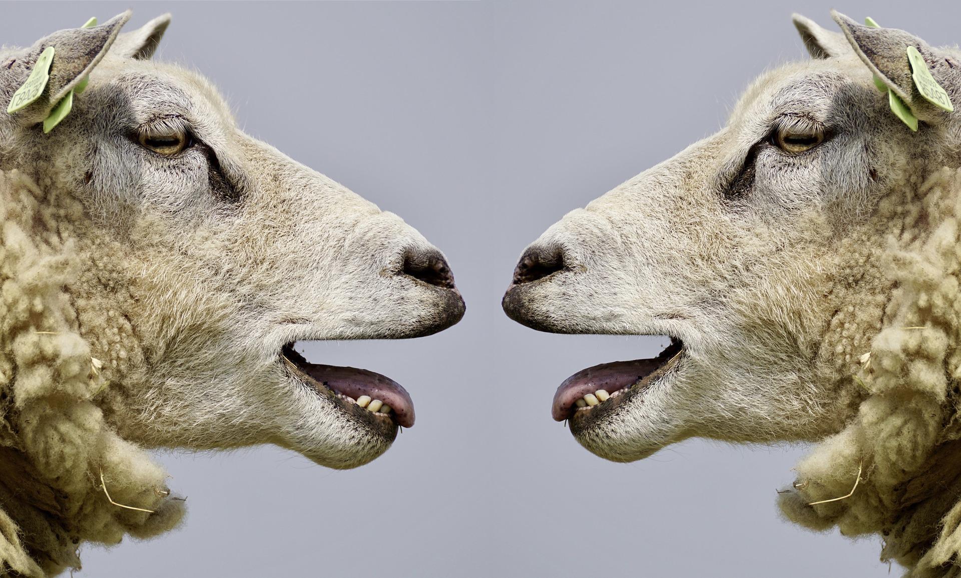 Moutons belent